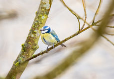Blue Tit Bird Royalty Free Stock Photography