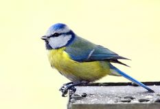 Blue tit in bird table. Isolated on yellow background Stock Image