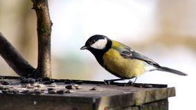 Blue tit in bird table. Titmouse in bird table - typical winter wiev Royalty Free Stock Photos