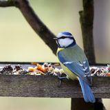 Blue tit in bird table. Typical winter wiev Stock Photo