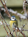 Blue tit bird on twig Stock Images