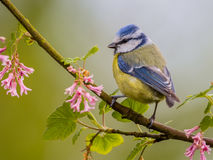 Blue tit blossom Royalty Free Stock Photo