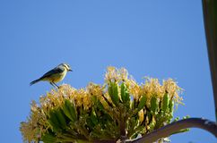 Blue tit on blossom of maguey. Blue tit Parus caeruleus teneriffae on blossom of maguey Agave americana. Young. Pajonales. The Nublo Rural Park. Tejeda. Gran Royalty Free Stock Photos