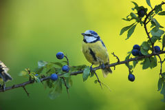 Blue Tit on blue branch Royalty Free Stock Photo