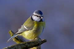 Blue Tit in the blue Stock Photos