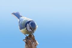 Blue tit on blue sky background Stock Photography