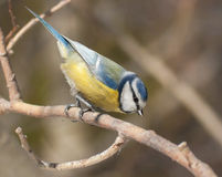 Blue tit on the branch Royalty Free Stock Images