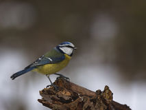 Blue tit on a branch. Blue tit sitting on a branch Stock Images