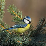 Blue tit on a branch Royalty Free Stock Photos