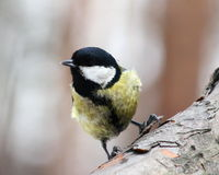 Great tit. On a branch Stock Photography