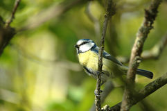 Blue tit on branch Stock Photography