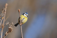 Blue Tit in spring. Blue Tit on a branch, background with a blue patch Royalty Free Stock Photography