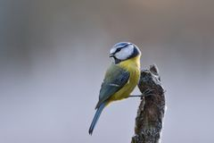Blue tit on a branch Stock Image