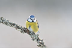 Blue tit on a branch Royalty Free Stock Images