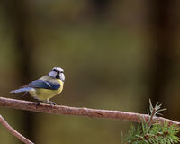 Blue Tit on a Branch Stock Images