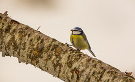 Blue Tit on branch Royalty Free Stock Photos