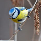 Blue tit on branch (parus caeruleus) Stock Images