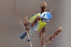 Blue tit on branch (parus caeruleus) Royalty Free Stock Photography