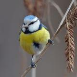 Blue tit on branch (parus caeruleus) Stock Photo