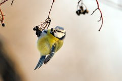 Blue tit on branch in winter Stock Photo