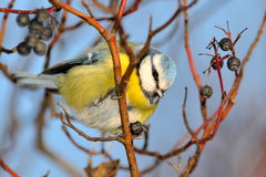 Blue tit on branch in winter Stock Image