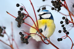 Blue tit on branch in winter Royalty Free Stock Photos