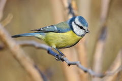 Blue tit on branch in winter (parus caeruleus) Stock Image