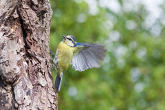 Blue tit. The blue tit is the bright colors a bird easily recognizable, which somewhat resembles the great tit. However, the blue tit is significantly smaller Stock Photo