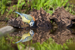Blue tit. The blue tit is the bright colors a bird easily recognizable, which somewhat resembles the great tit. However, the blue tit is significantly smaller Stock Images