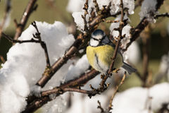 Blue tit in bush with snow Stock Photos