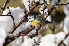 Blue tit in bush with snow Stock Photography