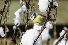 Blue tit in bush with snow Royalty Free Stock Photography