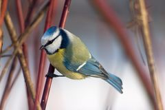 Blue tit in the bushes royalty free stock photo