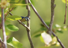 Blue Tit with Caterpillar Royalty Free Stock Photos