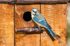 Blue tit with caterpillar at the entrance of a nest box. A blue tit holding a caterpillar at the entrance of a nest box Stock Photos