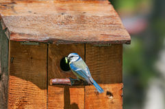 Blue tit with caterpillar in front of a nest box. A blue tit (Cyanistes caeruleus) holding a caterpillar in its mouth at the entrance of a handmade nest box Stock Photo
