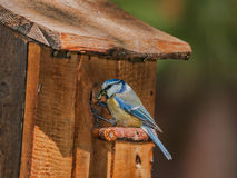 Blue tit with caterpillar at nest box. A blue tit(Cyanistes caeruleus) with a caterpillar at the entrance of a nest box Royalty Free Stock Photography
