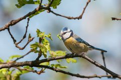 Blue tit with caterpillar in a tree Stock Image