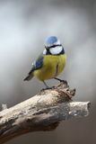 Blue tit on the catwalk Royalty Free Stock Photo