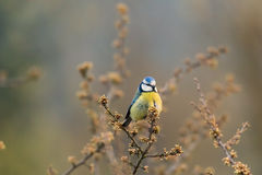 Blue tit is chatching insects on the branch Stock Images