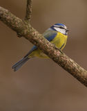 Blue Tit close-up Royalty Free Stock Photo
