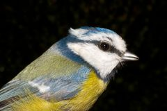 Blue tit close-up (Parus caeruleus) Stock Photos