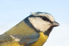 Blue tit close-up (Parus caeruleus) Stock Images