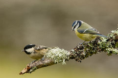 Blue Tit and Coal Tit Stock Image