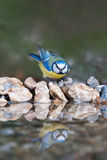 Blue tit coming to drink Royalty Free Stock Images