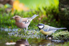 Blue tit and Common Chaffinch Stock Photo