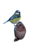 Blue Tit on a Cone Royalty Free Stock Photo