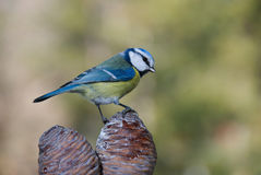 Blue Tit on cones Stock Photography