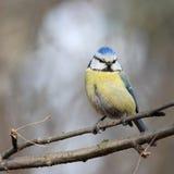 Blue tit - coquette. Blue tit - portrait on branch Stock Photo