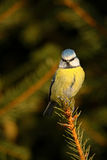 Blue Tit, cute blue and yellow songbird in forest scene, sitting on the tree, Germany Royalty Free Stock Photos